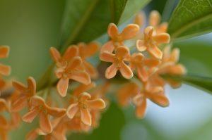モクセイ科植物イメージ