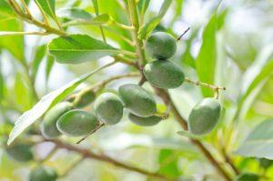 オリーブ果実油イメージ